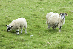Scottish sheep Stock Images