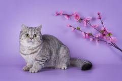 Scottish shorthair cat on a colored background  Stock Images