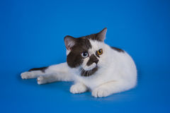 Scottish shorthair cat on a colored background  Royalty Free Stock Photography