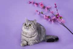 Scottish shorthair cat on a colored background  Royalty Free Stock Images