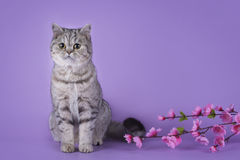 Scottish shorthair cat on a colored background  Royalty Free Stock Photo