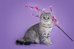 Scottish shorthair cat on a colored background isolated Royalty Free Stock Images