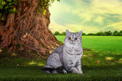 Scottish shorthair cat playing on a sunny summer day under a tre Royalty Free Stock Photo