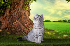 Scottish shorthair cat playing on a sunny summer day Royalty Free Stock Photos