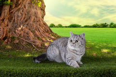 Scottish shorthair cat playing on a sunny summer day Stock Image