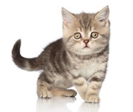 Scottish shorthair kitten Royalty Free Stock Image