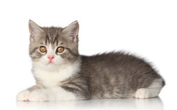 Scottish shorthair kitten on white background Royalty Free Stock Photo