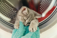 Scottish small cat bites the towel in the washing machine drum Stock Photography