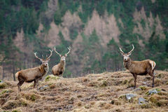 Scottish stag - Glen Etive Stock Photos