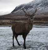 Scottish Stag in the snow Royalty Free Stock Photo