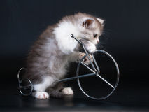 Scottish Straight breed kitten Royalty Free Stock Photography