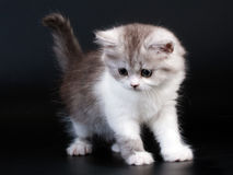 Scottish Straight breed kitten Royalty Free Stock Image