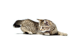 Scottish Straight breed kitten hunts for his tail Stock Photo
