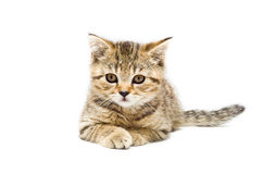 Scottish Straight breed kitten Royalty Free Stock Photo