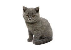 Scottish Straight breed kitten on white background Stock Photography