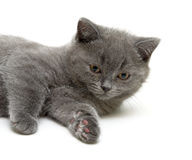 Scottish Straight breed kitten on white background Royalty Free Stock Photos