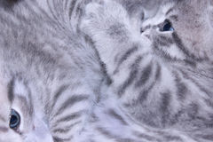 Scottish straight breed kittens play about Stock Photos
