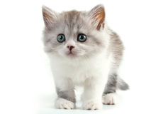 Scottish straight breed young pussycat. Seated on white background. No isolated stock images