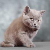 Scottish straight cat. Baby animal portrait Royalty Free Stock Image