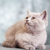Scottish straight cat. Baby animal portrait Stock Photography