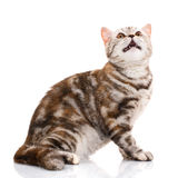 Scottish straight cat bicolor striped isolated on white background Stock Photography