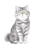 Scottish Straight cat. Image of a thoroughbred cat. Watercolor painting Stock Photos