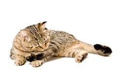 Scottish Straight cat licks herself Stock Photography