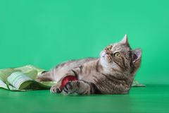 Scottish straight cat looking up on a green background. Christmas balls Stock Photos