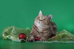 Scottish straight cat looking up on a green background. Christmas balls Royalty Free Stock Images