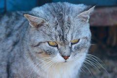 Scottish straight cat. Muzzle of pet Stock Photos