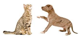 Scottish Straight cat sniffing a pit bull puppy Stock Image