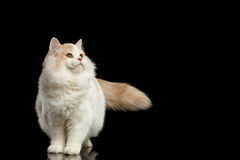 Scottish Straight Cat Standing and Looking up Isolated Black Stock Photo