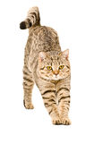 Scottish Straight cat that stretches. Portrait of a Scottish Straight cat that stretches isolated on white background Stock Images