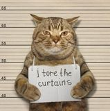 Cat tore curtains. A scottish straight cat tore curtains stock image