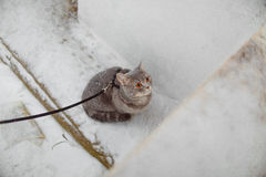 Scottish straight cat for a walk in the winter. ! Royalty Free Stock Images