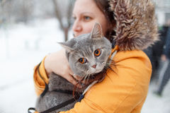 Scottish straight cat for a walk in the winter Stock Photo