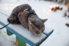 Scottish straight cat for a walk in the winter. ! Royalty Free Stock Photos