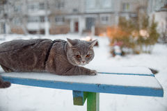 Scottish straight cat for a walk in the winter. ! Royalty Free Stock Photography