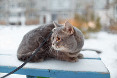 Scottish straight cat for a walk in the winter. ! Stock Images