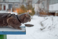 Scottish straight cat for a walk in the winter. ! Royalty Free Stock Image