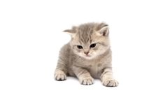 Scottish Straight Cats. Plays on a white background royalty free stock images