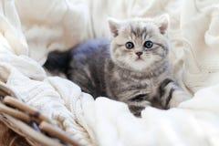 Scottish Straight Cats. Bebe kitten Scottish Straight Cats stock photos
