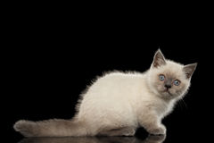 Scottish Straight Colorpoint Kitten Side view Isolated on Black Royalty Free Stock Image