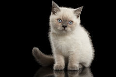 Scottish Straight Colorpoint Kitten Sitting, Front view Isolated on Black Stock Photography