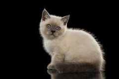 Scottish Straight Colorpoint Kitten Sitting, Side view Isolated on Black Stock Image