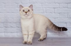 Scottish straight-faced light colored cat stock photography