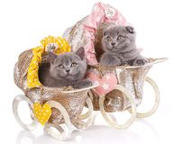 Scottish straight and scottish fold kittens. Kittens concept pos stock image