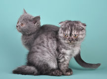 Scottish straight and fold kittens Stock Photography