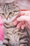 Scottish-straight gray beautiful cat Stock Images