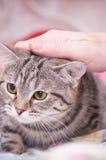 Scottish-straight gray beautiful cat Royalty Free Stock Image